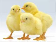 Продажа суточных гусят,  утят,  цыплят бройлеров