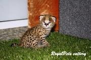 Котенок домашнего сервала (leptailurus serval serval)