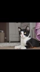 Отдается в добрые руки котенок-мальчик,  3-4 месяца,  черно-белый окрас