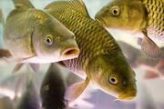 Рыбодобывающая компания продаст Рыбу: Лещ Жерех Судак Сом Сазан