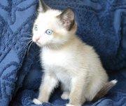 Отдам сиамского котенка