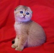 Продажа высокопородных шотландских и британских котят!