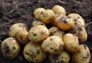Картофель оптом +5 от производителя!