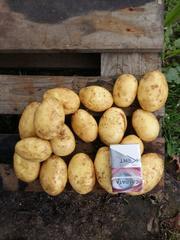 Картофель продовольственный. Беларусь.