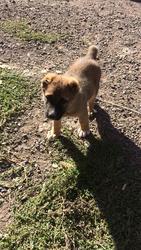 Продам 2-х месячного щенка Алабая