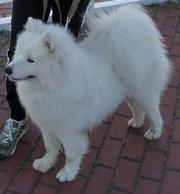 Продам собаку Самоед,  девочка 11 месяцев