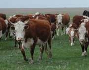 мясо крс молодое высокого качества Астана