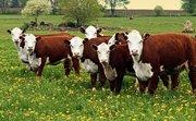 Поставка оптом говядины  из Джезказгана все необходимые документы